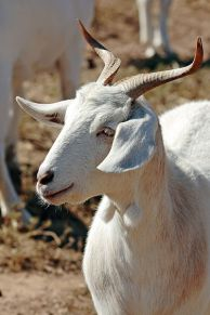 Goat with unusual horns ©WikiC