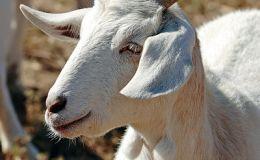 Scripture Alphabet of Animals: The Ibex or the WildGoat