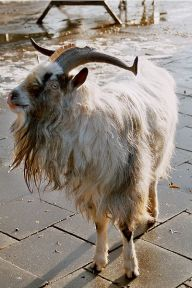 Long-haired Goat ©WikiC
