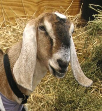 Nubian Goat with long ears ©WikiC