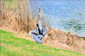 Great Blue Heron sunning by Dan