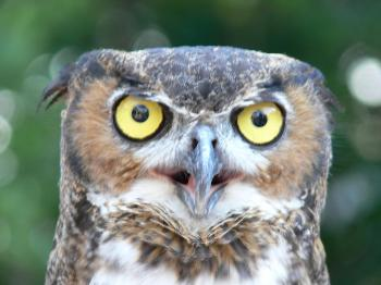 Great Horned Owl - Lowry Pk Zoo by Lee