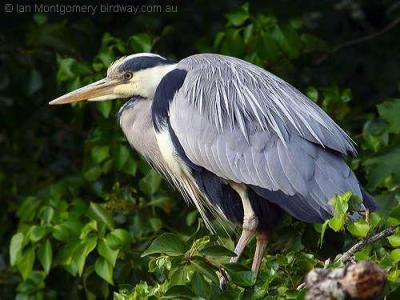 Grey Heron by Ian