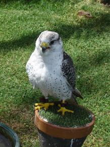 Gyrfalcon (Falco rusticolus) in Spain ©WikiC