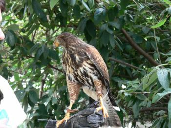 Harris's Hawk at NA by Lee