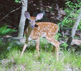 Fawn ©WikiC