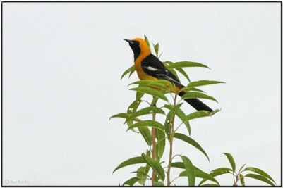 Hooded Oriole (Icterus cucullatus) by Daves BirdingPix