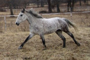 Horse - Galloping Bashkir curly©WikiC