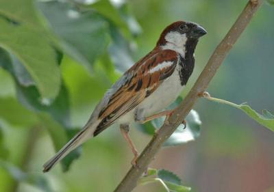 House Sparrow (Passer domesticus)  by Nikhil