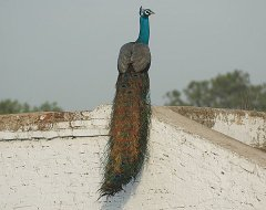 Indian Peafowl (Pavo cristatus) by Nikhil Devasar