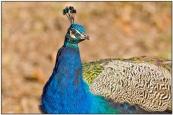Indian Peafowl (Pavo cristatus) by Daves Birding Pix in Backyard