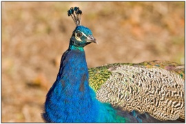 Indian Peafowl (Pavo cristatus) by Daves Birding Pix in Backyard