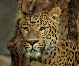 Leopard - Panthera pardus japonensis ©WikiC