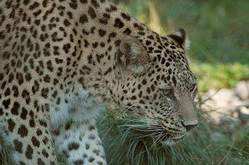 Leopard - Persischer leopard ©WikiC