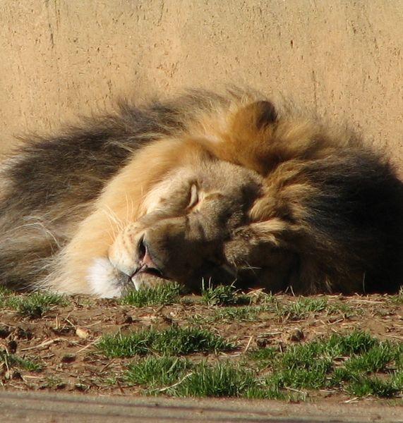 Lion - Asleep at the Louisville Zoo ©WikiC