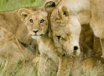 Lion cub with mother ©WikiC