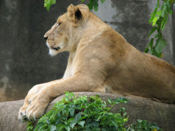 Lioness at Louisville Zoo ©WikiC