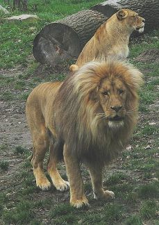 Lions ©WikiC