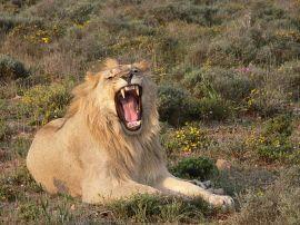 Roaring Lion ©WikiC