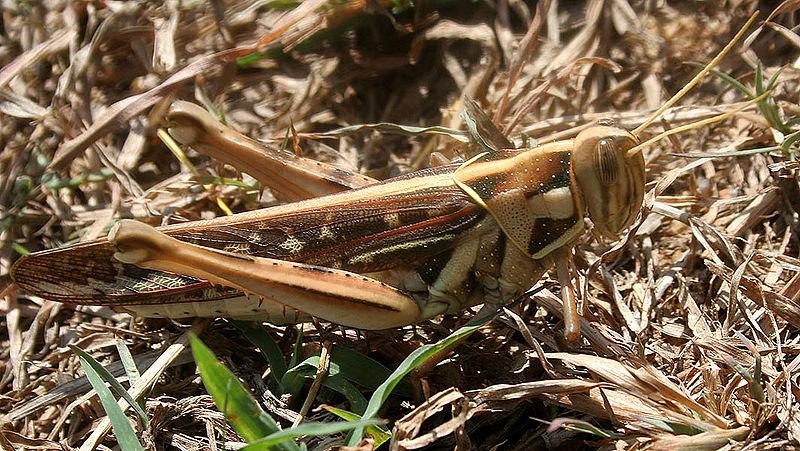 Desert Locust (Schistocerca gregaria)©WikiC