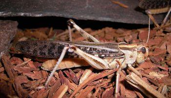 Locust ©WikiC
