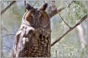 Long-eared Owl (Asio otus) by Daves BirdingPix