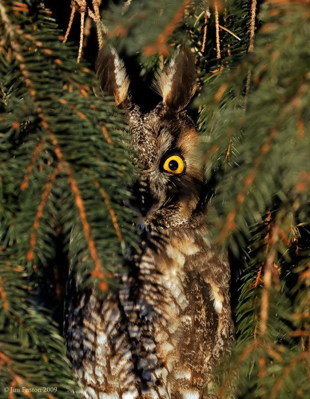 Long-eared Owl (Asio otus) by J Fenton
