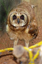 Marsh owl (Asio capensis) ©WikiC