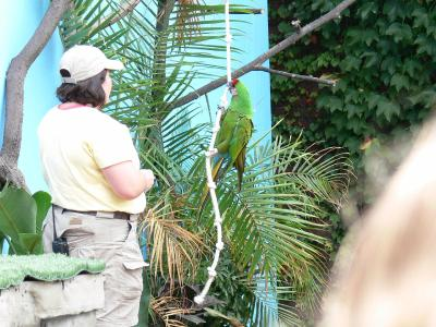 Military Macaw (Ara militaris) National Aviary Parrot Show Outside by Lee