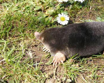 European Mole ©WikiC