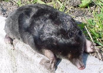 European mole©WikiC