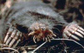 Star-nosed Mole (Condylura)©US NPS