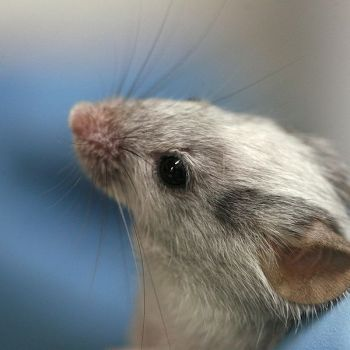 Mouse - ©WikiC