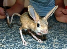 Mouse - Four-toes-jerboa