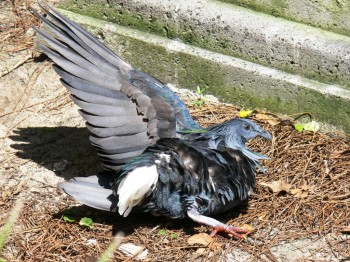 Nicobar Pigeon sunbathing at Lowry Park Zoo by Lee