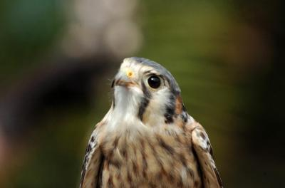 American Kestrel at National Aviary by Dan