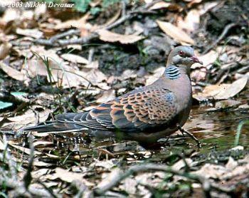 Oriental Turtle Dove (Streptopelia orientalis) by Nikhil Devasar