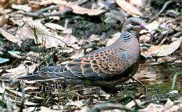 Scripture Alphabet of Animals: TheTurtle-Dove