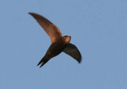 Pallid Swift, Apus pallidus, in flight over Tarifa, Spain ©WikiC