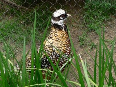 Reeves's Pheasant (Syrmaticus reevesii) Memphis Zoo by Dan
