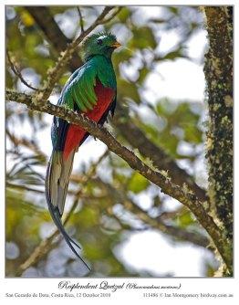 Resplendent Quetzal (Pharomachrus mocinno) by Ian2