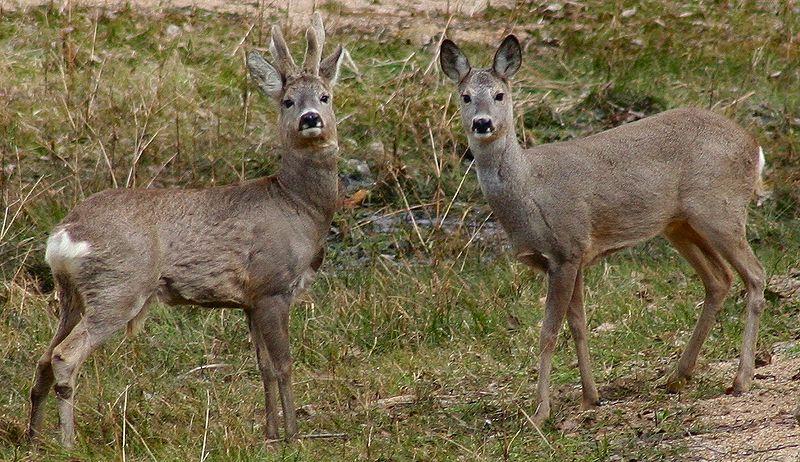 Roe Deer (Capreolus capreolus)©WikiC