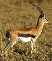 Thomson's Gazelle at Masai Mara, Kenya©WikiC