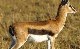 Scripture Alphabet of Animals: The Roe orGazelle