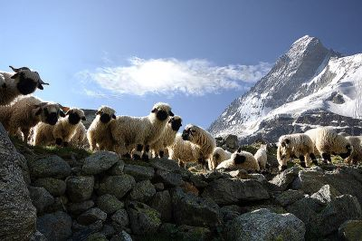 Matterhorn Sheep©WikiC