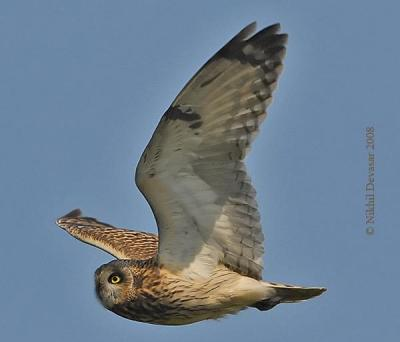 Short-eared Owl (Asio flammeus) by Nikhil