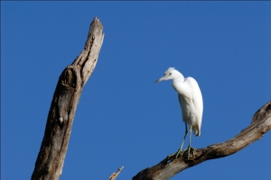 Little Blue Heron immature in a Tree by Dan at Circle B