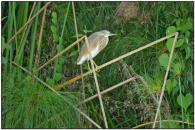 Squacco Heron (Ardeola ralloides) by Daves BP