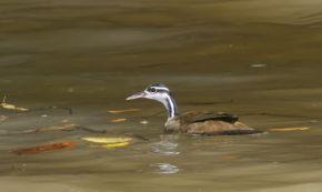 Sungrebe (Heliornis fulica) ©Wikipedia