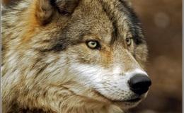 Scripture Alphabet of Animals: TheWolf